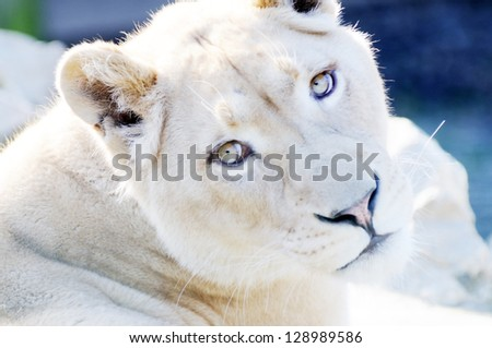 Closeup of female white lion showing fur detail