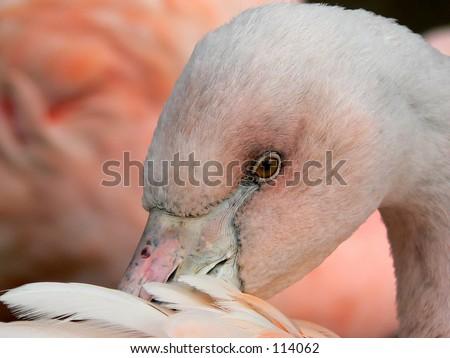 Closeup of flamingo - stock photo