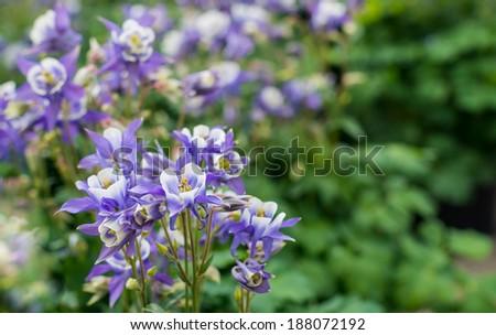 Closeup of flowering Columbine or Aquilegia plants in their natural habitat in springtime. - stock photo