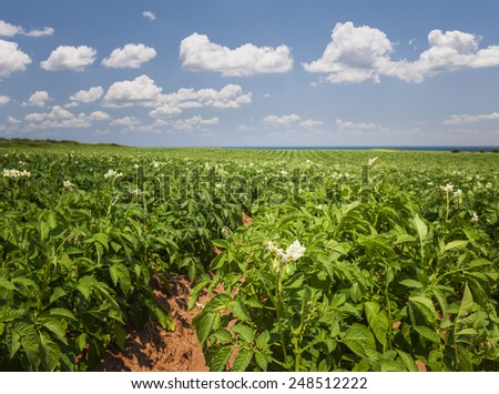 Closeup of flowering potato plants growing in large farm field at Prince Edward Island, Canada - stock photo
