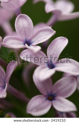 Closeup of flowers of a lilac cluster. Purple Lilacs are  reminiscent of springtime, young love, grandparents, romantic poetry and other writings. Shallow dof.  Top flower focus. - stock photo