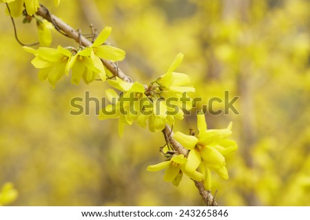 closeup of forsythias flowers in bloom, springtime photo - stock photo