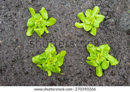 Closeup of four recently planted Butterhead lettuce plants in the fertile soil of a small vegetable nursery. - stock photo