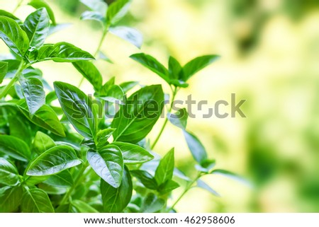 Closeup of fresh basil plant growing in garden. Blurred background with copy space