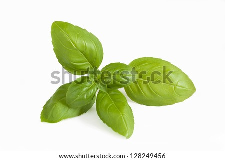 Closeup of fresh basil sprig on a white background.