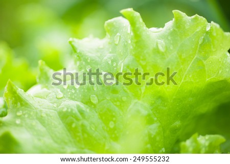 Closeup of fresh lettuce with water drops - stock photo