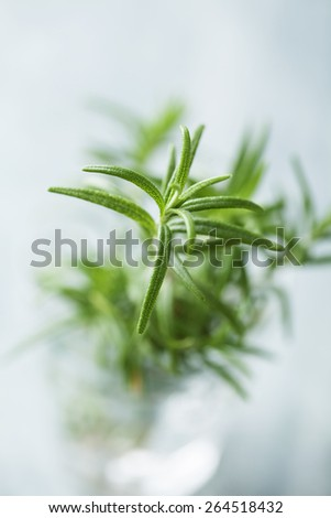 closeup of fresh rosemary - stock photo