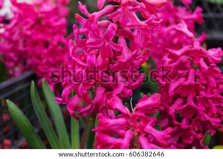 Closeup of fresh, spring, pink hyacinths, the market for flowers.