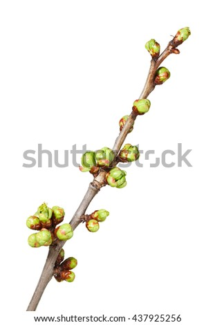 Closeup of fruiter brunch with many blossom buds ready to bloom at spring, isolated over white background - stock photo