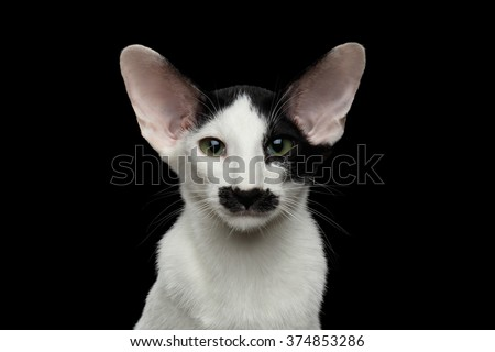 Closeup of Funny Oriental Shorthair looking at camera Isolated on Black background