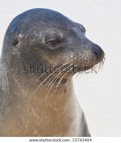 Closeup of Galapagos Sea Lion - stock photo