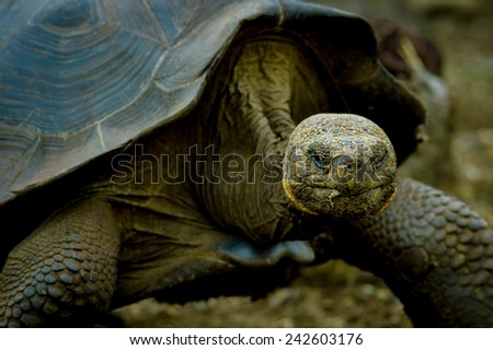 closeup of galapagos turtle in san cristobal galapagos ecuador - stock photo