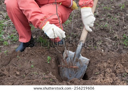 Closeup of gardener resetting  sprout in soil  - stock photo