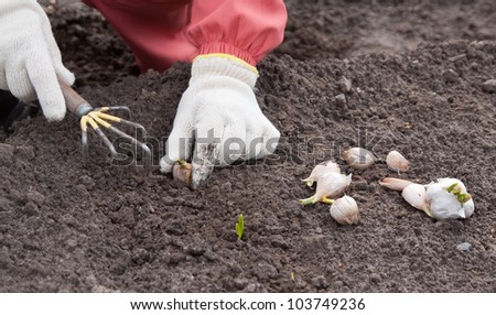 Closeup of  gardener sets garlic in soil at field - stock photo