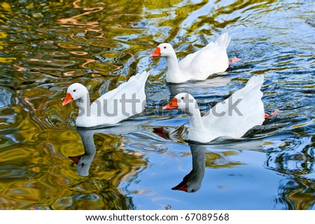 closeup of geese swimming in a lake
