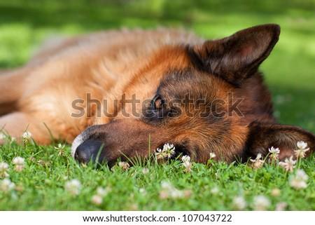 closeup of german shepherd lying on grass - stock photo