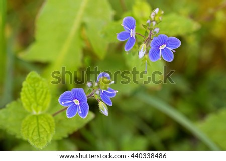 Closeup of Germander Speedwell (Veronica chamaedrys) flower in blue purple blossoming in the garden in Austria, Europe during summer time - stock photo