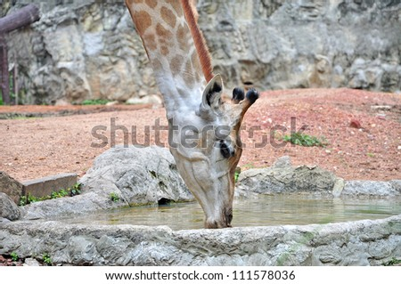 Closeup of Giraffes drinking water in the Zoo. - stock photo