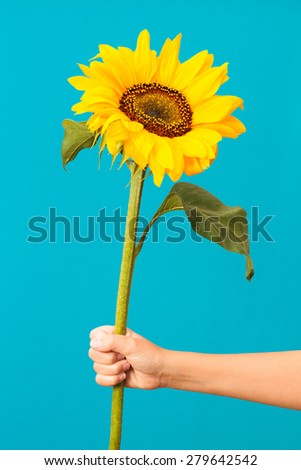 Closeup of girl's hand holding a sunflower on blue background