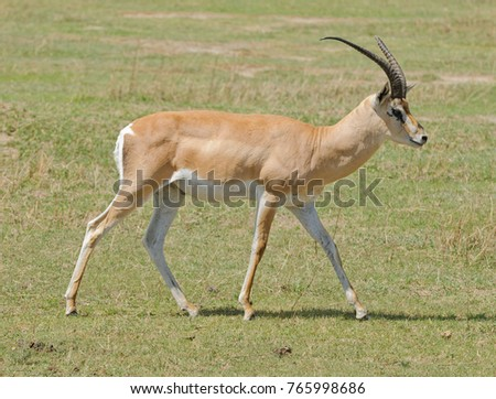 "Closeup of Grant's Gazelle (scientific name: Gazella granti, robertsi or ""Swala granti"" in Swaheli) image taken on Safari located in the Ngorogoro National park in the East African country of Tanzania"