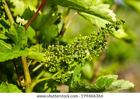 """Closeup of grape cluster on grapevine """"Vranec"""" in beginning stage of growth - stock photo"""