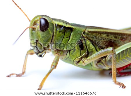 closeup of grasshopper isolated on white background - stock photo