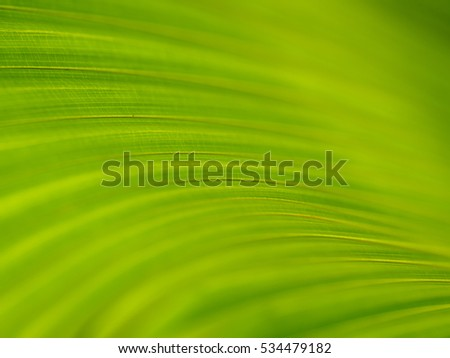 Closeup of Green and yellow leaves texture background of Licuala pelota Roxb tree