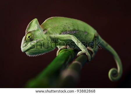 Closeup of green chameleon - stock photo