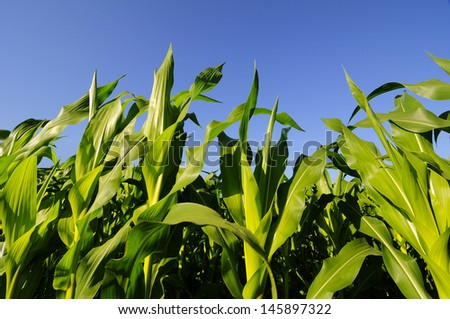 Closeup of green corn plants with blue sky in the background