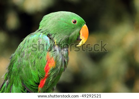Closeup of green,  Eclectus parrot, perched on branch. - stock photo