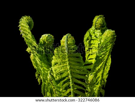 closeup of green fresh fern on black background - stock photo