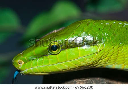 Closeup of green snake, Thailand. - stock photo