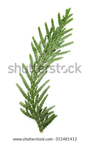 Closeup of green twig of thuja the cypress family on white background - stock photo
