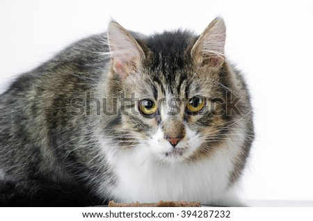 Closeup of Grey and White Tabby Cat Isolated White Background - stock photo