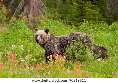 Closeup of grizzly bear feeding on fruits and flowers with small cub behind. - stock photo