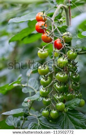 Closeup of growing cherry tomatoes - stock photo