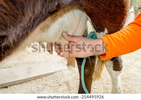 closeup of hand milking a cow in a farm - stock photo