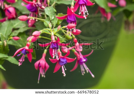 Closeup of hanging basket of pink and purple fuchsia flowers, green background, soft summer gardening scene