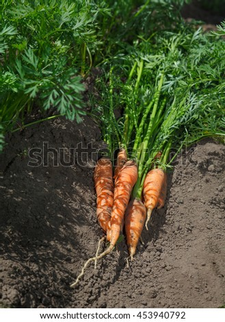 Closeup of harvest of carrots in field at sunny day - stock photo