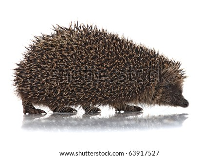 closeup of hedgehog on white background - stock photo