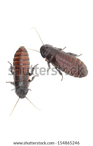 Closeup of hissing cockroach isolated in front of white background. - stock photo