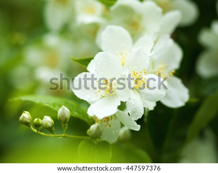 Closeup of Jasmine Flower at Blossom in Spring - stock photo