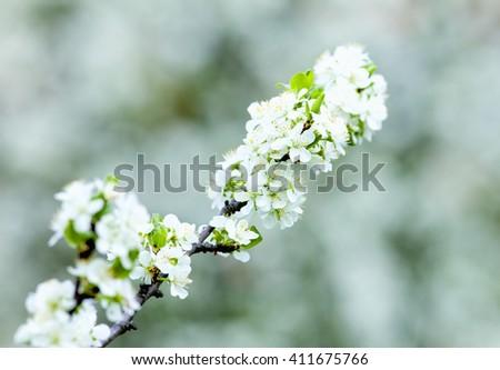 Closeup of Laburnum Flower at Blossom in Spring - stock photo