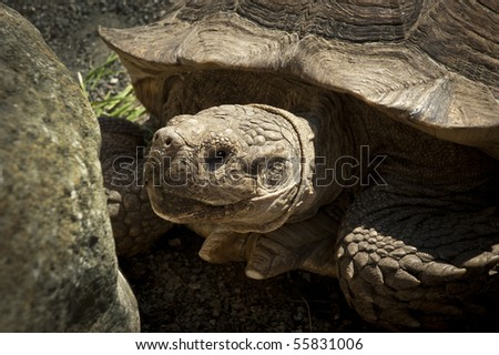 Closeup of large land turtle in the sun - stock photo