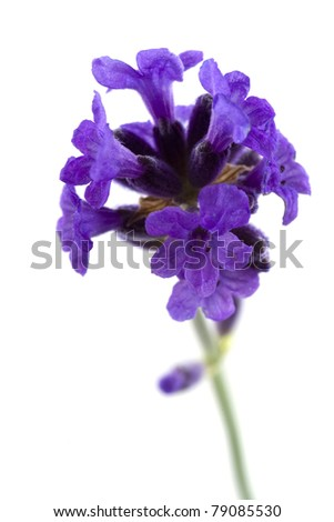 closeup of lavender - stock photo