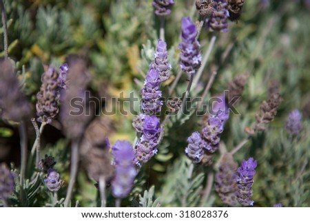 Closeup of lavender flowers. Close up of lavender field in the summer.  - stock photo