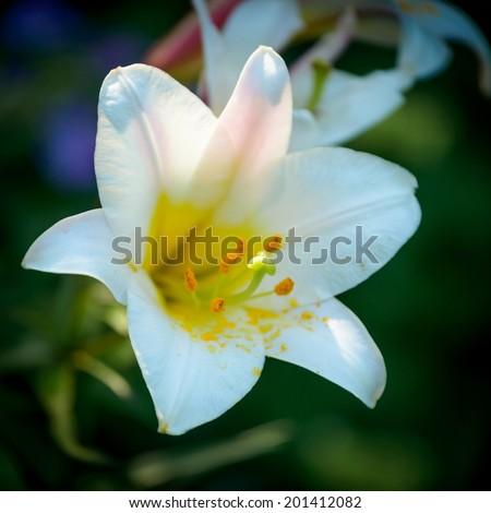 Closeup of Lilium longiflorum (Easter lily). - stock photo