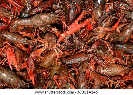 Closeup Of Live Louisiana Crawfish, Ready To Be Boiled,
