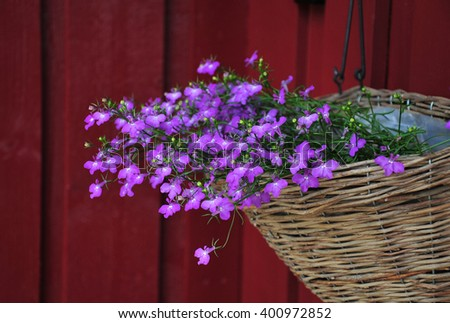 Closeup of Lobelias in basket in front of dark red wall - stock photo