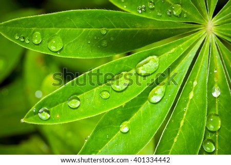 Closeup of lupine leafs and water drops - stock photo